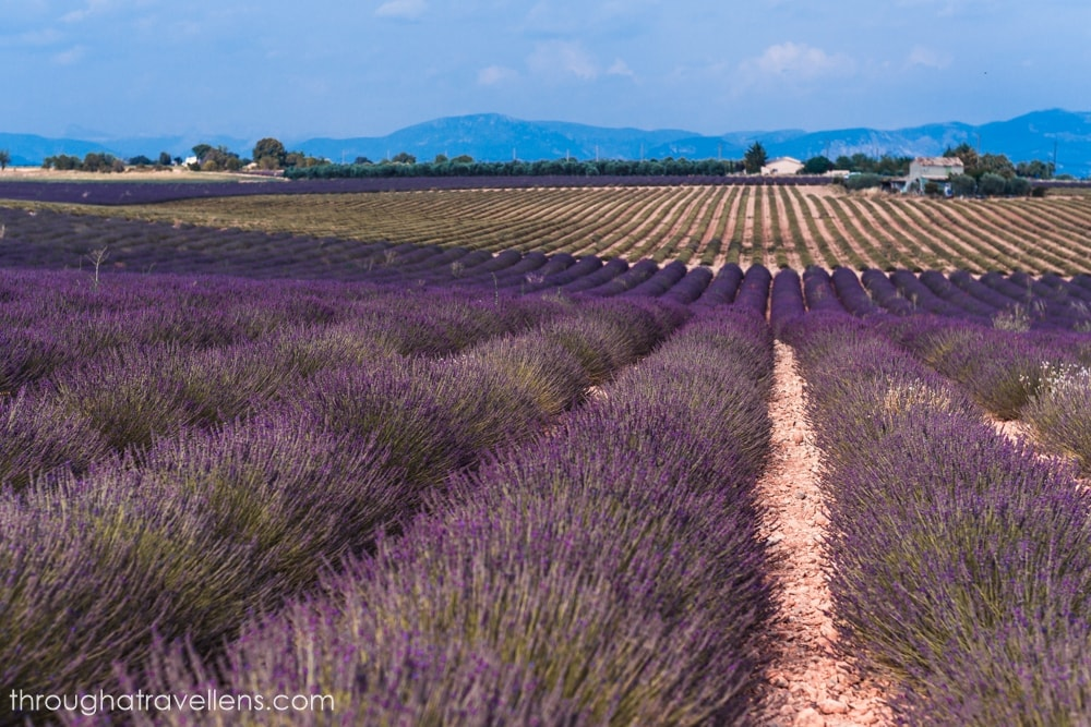 Visit Provence in summer to see the beautiful lavender fields