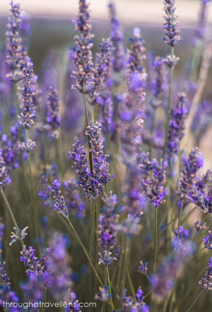 Lavender of Valensole