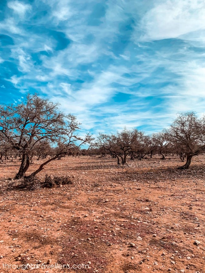 Argan trees growing on the way to Essaouira