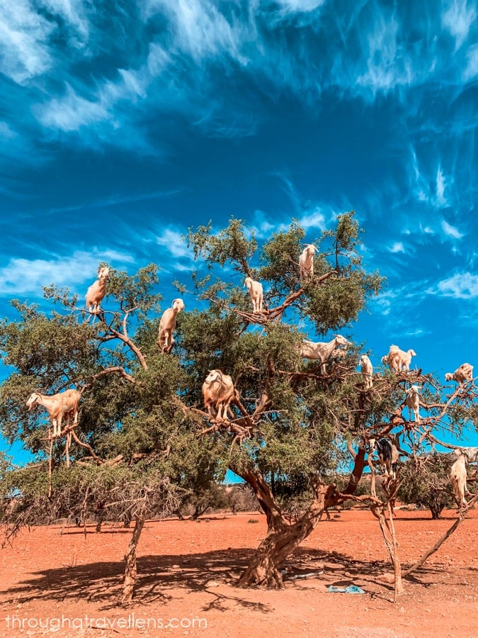 Goats on trees in Morocco during the Essaouira 3-day trip