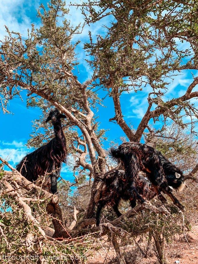 Black goats climbing Argan trees in Morocco