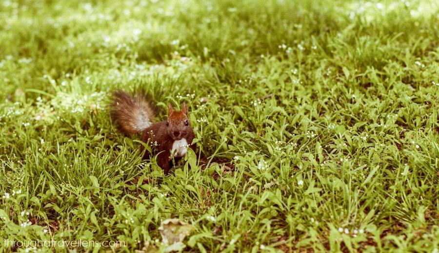 Squirrel in Dytynets, Chernihiv